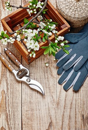 Spring gardening branch plum in wooden box at board with garden pruner and glove with copyspace top view.