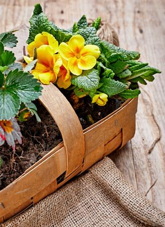 Spring flower primula in wicker basket on wooden board with garden inventory gardening. Top view