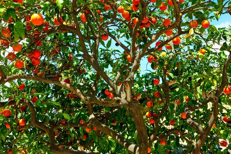 Orange tree with fruit at branch Imagens