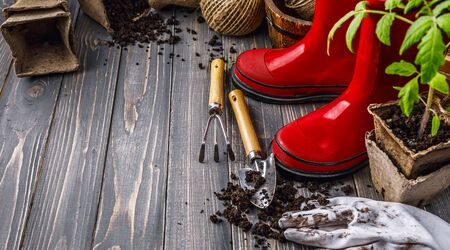 Gardening tools with soil red boots and seedlings tomato on wooden board in rustic style
