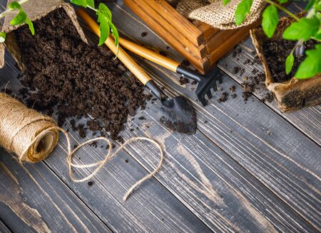Seedlings tomato in pot with garden tools ground spade and rake on old wooden board.