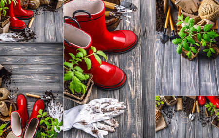 Collage mix set of Gardening tools with soil red boots and seedlings tomato on wooden board in rustic style. Copyspace top view.