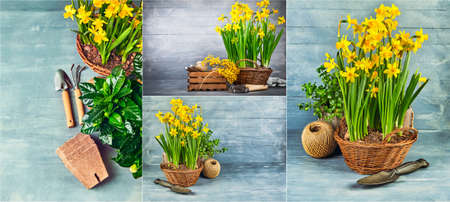 Collage mix set of Spring flower narcissus with garden inventory on wooden board.
