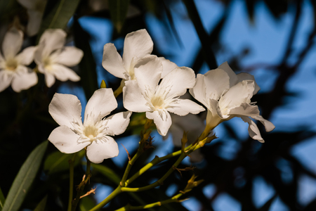 White Flowers on sunny day,Bougainvillea Flower branch isolatd on blurred backgroud.white blossom tree.Flower of Greece island.