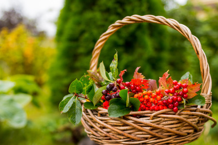 Lovely autumn concept, still life with red berries,rowan berry and yellow, red and green leaves in the basket, nature outdoor background.Copy space.composition of autumn berries, selective fokus