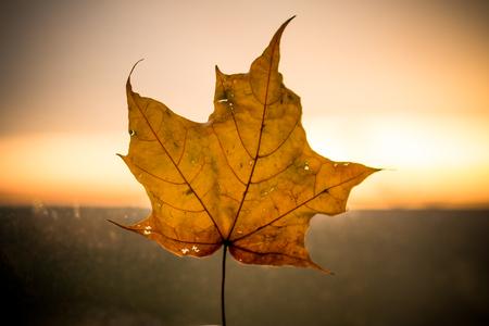 Yellow maple leaf isolated on the sunset background. Seasonal autumn theme. October concept.