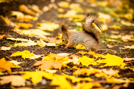Cute and hungry squirrel eating a chestnut in autumn scene. autumn portrait of squirrel, yellow park with fallen leaves, concept autumn nature preparation for winter, redhead little beast in the forest