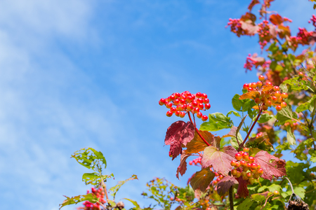 Red berries of a viburnum with red and green leaves on a bush close-up against a blue sky with white clouds,Colorful landscape.Autumnal bush.Copy space