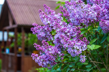 lilac flower.Green branch with spring lilac flowers.Branch of blooming lilacs. Spring landscape.