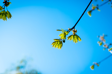 Texture background, pattern. Spring landscape, the first young leaves of trees.Branch of tree with first green leaves and buds against blue sky. Spring background. Nature wakes up,Selective focus.Copy space Stok Fotoğraf