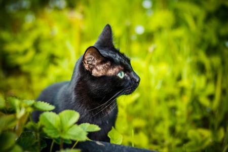 Schwarze Katze im grünen Gras. Kätzchen sitzen im Garten, Lichtung, Wiese. Nette schwarze Katze, die auf grünem Gras liegt und misstrauisch schaut. Aberglaube der schwarzen Katze als Bringer von Pech oder Glück. Tag der Anerkennung der schwarzen Katze.