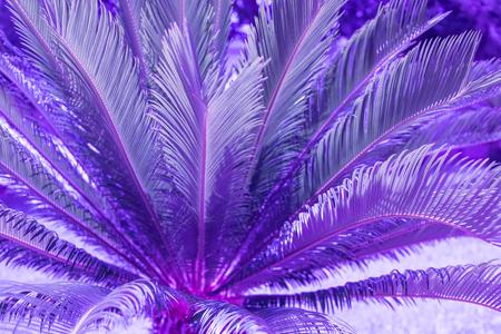 Exotic plant palm leaves close up in duo purple blue gradient tone in vibrant bold trendy colors. Concept fashion art. Minimal surrealism. Tropical succulent. Banque d'images