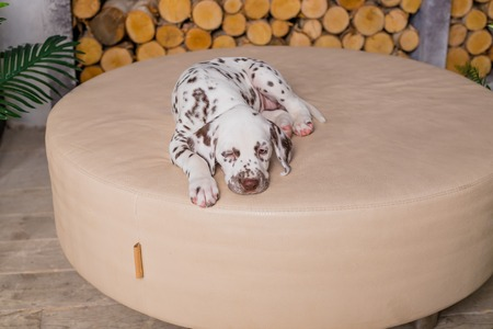 Peachy Four Months Old Dalmatian Sleeping Small Dog Sleep In The House Cute Pabps2019 Chair Design Images Pabps2019Com