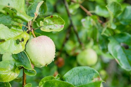 Organic ripe green apples with red side growing on tree ready to be harvested. Fruit orchard on bright sunny summer day Stock Photo