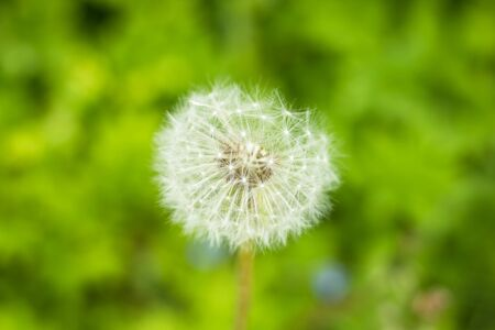 Dandelion isolated on nature,green grass background.Dandelion, Single Flower, Flower.Copy space Stockfoto