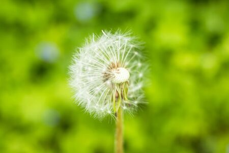 White fluffy dandelions, natural green blurred spring background, selective focus.Beautiful white dandelion flowers close-up.Copy space