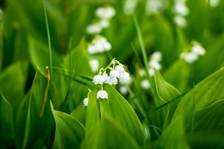 Forest, wild flowers. delicate flowers against a background of pine forest in May and April.Spring landscape. flowers lily of the valley.Florescence of lily of the valley in spring.