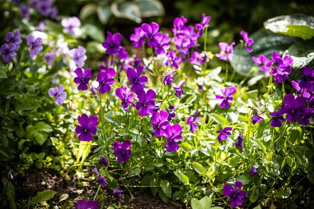 Garden pansy. Violet pansy flower.Hybrid pansy or Viola tricolor pansy in flowerbed. Violet flower in the spring garden.wild and garden flowers. Dark purple heartsease, bloom in garden.