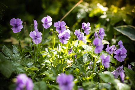 Garden pansy with purple and white petals. Hybrid pansy or Viola tricolor pansy in flowerbed. Field Pansy, small flowering plant use as meadow flowerbed in garden