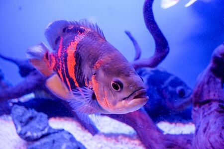 Oscar fish, Astronotus ocellatus. Tropical freshwater fish in aquarium. tiger oscar, velvet cichlid.fish from the cichlid family in tropical South America, most popular cichlids in the aquarium hobby. 写真素材