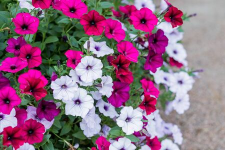 Petunias,colorful flower ,Petunia hybrida. Floral pattern. Spring,summer flowers background texture. Flowers petunia background pattern for postcards, brochures about gardening and landscape design