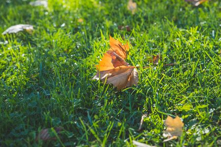 Golden morning sun rays on green grass in autumn. Beautiful nature background. Golden yellow orange red fallen leaves on lawn in autumn season.Fall leaves on meadow. seasonal sunny weather