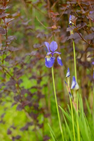blooming violet irises.Violet iris over green meadow bright background 写真素材