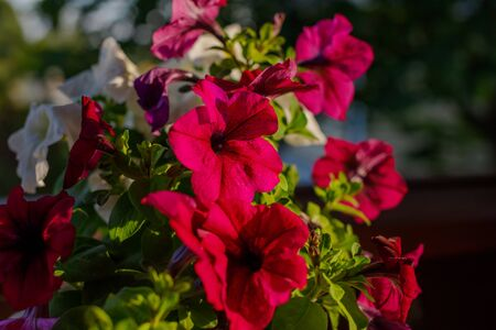 petunia flowers in the garden in Spring time.