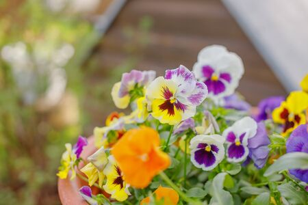 Beautiful flower field of blooming purple yellow wild pansy ,heartsease ,Johnny Jump up,garden violet