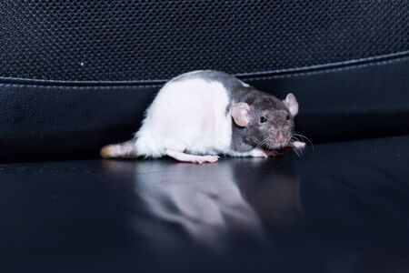 cute, funny rat isolated on black background