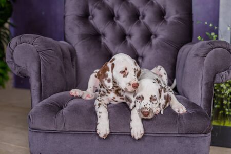 Beautiful, happy, relaxed and well behaved Dalmatian dog puppy sitting down on a tall purple armchair.Dogs together resting in an armchair in harmony.Two freindly dogs relaxing together on the armchai 스톡 콘텐츠