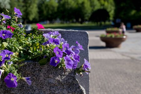 Colorful petunia flowers on a city street.blooming white Petunia in a hanging retro planters on the street.Floral landscaping brings a riot of color to citys streets, City beds with flowers.