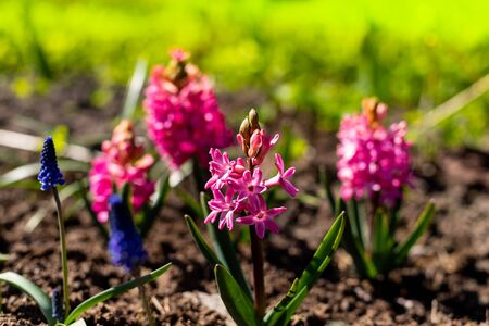 Beautiful pink hyacinth flowers in the spring garden.Colorful Hyacinthus blossoms in spring garden on beautiful spring background. Hyacinthus is a small genus of bulbous, fragrant flowering plants.Easter flowers