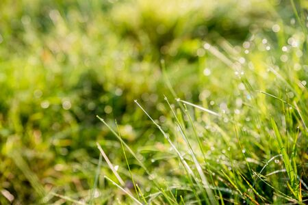 drops of dew on a green grass.Fresh green grass with water drops on the background of sunlight beams. Soft focus