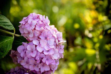 great bush of pink flower hydrangea blooming in the garden