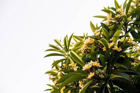 Frangipani flowers ,Plumeria flowers, blooming with green leaves on blue sky background. branches of white and yellow flowers with green leaves, Frangipani tropical spa flowers with blue sky as backdrop.Copy space