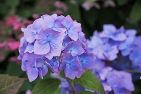 Hydrangea blue flower and green leaves with drops after the rain