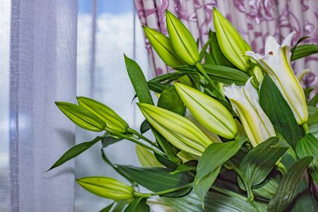 The branch of lilies with buds, closed up. Floral present.unopened buds of the Lily. Happy birthday gift.Tender white lilies, closed green buds of lilies, natural background.