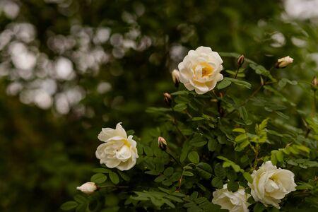 White rose flowers of rosehips bush in the summer garden