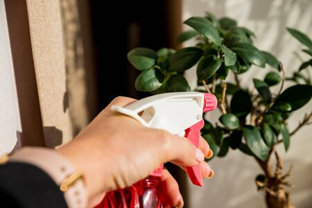 Hand spraying houseplants with a spray bottle.Plant and water spray beside window splashed by sunlight, indoor gardening. Hand spraying the plant on sunny day. Hydration of plants, washing of plant leaves