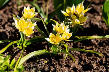 Blooming yellow wild tulips. Wild tulipa Tarda Dasystemon.flowers in the park, wild tulips, flowerbed.Beautiful bouquet of tulips. colorful tulips. tulip in the spring field. Stock Photo