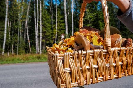 full basket of fresh autumn mushrooms such as Boletus scaber, aurantiacus, edulis.Mushroom Boletus in wicker basket. Autumn Cep Mushrooms. Cooking delicious organic food mushroom.