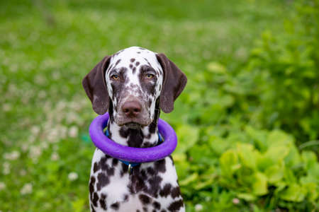 Happy young Dalmatian dog sitting outdoors with a puller ring toy around its neck. The portrait of Dalmatian puppy is sitting on meadow, in garden,looking attentively. dog training. Stock fotó
