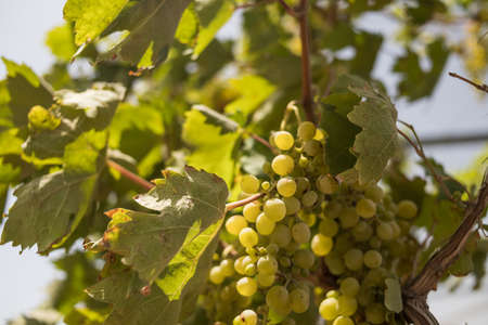 grapes with green leaves on the vine. fresh fruits.Ripe grapes hung on vineyards of grape trees. In the morning vineyard. harvesting table grapes on a farm Archivio Fotografico