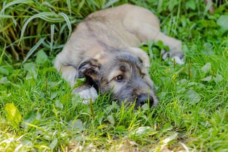 A beautiful brown irish wolfhound with nice expression in head in a garden. puppy Irish wolfhound smiling and lying on meadow, lawn in summer.Cute big pet in nature.