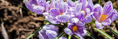 Bright, delicate spring purple crocuses in the garden on an early sunny morning. Awakening of plants in nature after winter. Forest botanical crocuses wild flowers.web banner format,Flower carpet