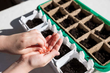 Female hand seeding for planting, Nursery Tray Vegetable Garden.gardening, planting at home. child sowing seeds in germination box.Early seedling , grown from seeds in boxes on the windowsill.