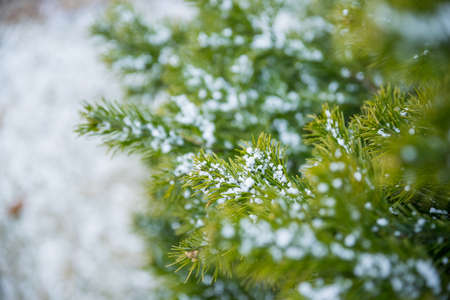 Snow Covered Pine Tree Branches Close Up. Christmas evergreen spruce tree with fresh snow in garden.Selective focus