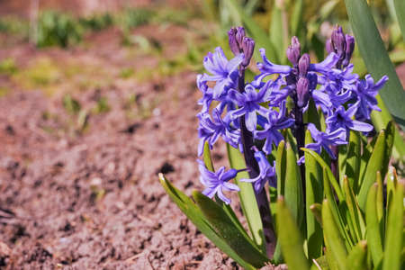 Colorful purple and lilac hyacinth flowers blossom in dutch spring garden.First sunlight glowing marvelous hyacinth flowers in the park. Beautiful spring scene