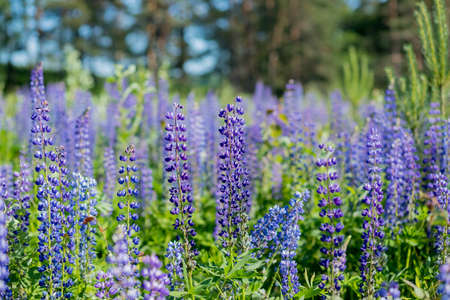 The field of wild multicolored lupinus flowers.Violet purple lupin in meadow. Colorful bunch of summer Blooming flowers.flower background or greeting card.Selective focus